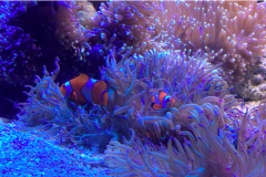 Clown Fish in Australia