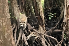 Raccoon in New Orleans, USA